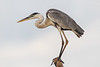 South America. Brazil. A cocoi heron (Ardea purpurea) in the Pantanal, the world's largest tropical wetland area, and a UNESCO World Heritage Site.