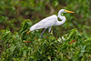 South America. Brazil. A Great egret (Ardea alba) and also known as a great white heron,  is commonly found in the Pantanal, the world's largest tropical wetland area, and a UNESCO World Heritage Site.