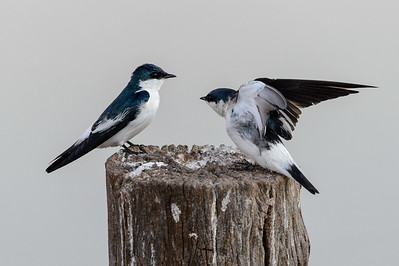 White winged swallows