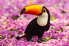 South America. Brazil. Toco Toucan (Ramphastos toco albogularis) is a bird with a large colorful bill, commonly found in the Pantanal, the world's largest tropical wetland area, and a UNESCO World Heritage Site.