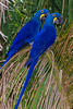 South America. Brazil. Hyacynth macaws (Anodorhynchus hyacinthinus), a vulnerable species of parrot,  in the Pantanal, the world's largest tropical wetland area, and a UNESCO World Heritage Site.