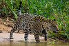 South America. Brazil. A jaguar (Panthera onca), an apex predator, walks along the banks of a river<br />  in the Pantanal, the world's largest tropical wetland area, and a UNESCO World Heritage Site.g