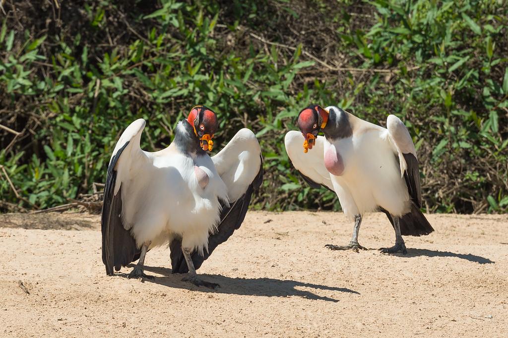 King vultures