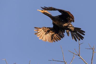 Nootropic Cormorant