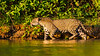 South America. Brazil. A female jaguar (Panthera onca), an apex predator hunting along the banks of a river in the Pantanal, the world's largest tropical wetland area, and a UNESCO World Heritage Site.