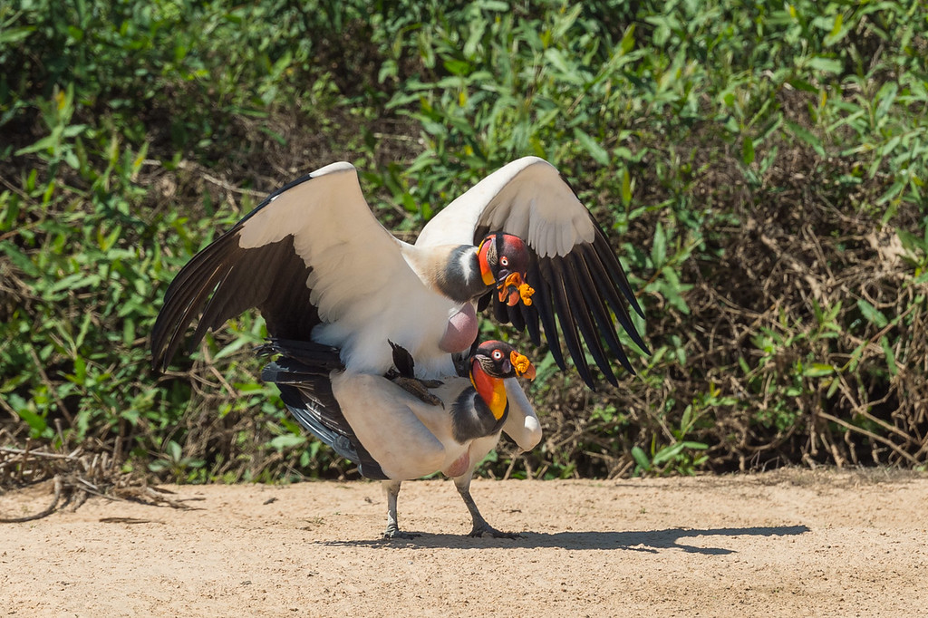 King vultures mating