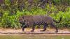Pantanal-9759