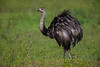 South America. Brazil. A rhea (Rhea americana), a arge bird related to the ostrich, in the Pantanal, the world's largest tropical wetland area, and a UNESCO World Heritage Site.