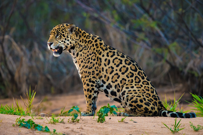 South America. Brazil. A jaguar (Panthera onca), an apex predator, rests along the banks of a river<br />  in the Pantanal, the world's largest tropical wetland area, and a UNESCO World Heritage Site.g