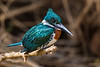 South America. Brazil. A Green kingfisher (Cloroceryle americana) commonly found in the Pantanal, the world's largest tropical wetland area, and a UNESCO World Heritage Site.