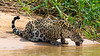 South America. Brazil. A jaguar (Panthera onca), an apex predator, drinks along the banks of a river in the Pantanal, the world's largest tropical wetland area, and a UNESCO World Heritage Site.g