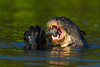 South America. Brazil. Giant river otter (Pteronura brasiliensis) is found in slow-moving rivers of the Pantanal, the world's largest tropical wetland area, and a UNESCO World Heritage Site.