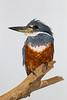 South America. Brazil. A male Amazon kingfisher (Chloroceryle amazona) commonly found in the Pantanal, the world's largest tropical wetland area, and a UNESCO World Heritage Site.