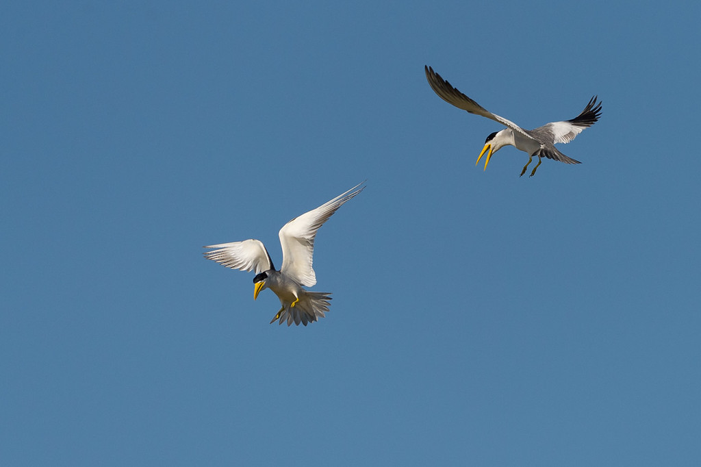 Large-billed terns