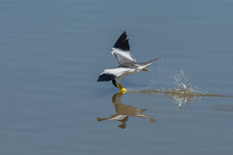 Large-billed tern fishing