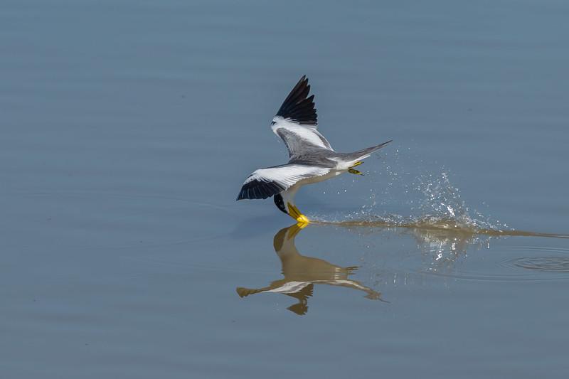 Large-billed tern fishing