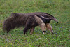 South America. Brazil. A giant anteater (Myrmecophagia tridactyla) in the Pantanal, the world's largest tropical wetland area, and a UNESCO World Heritage Site.