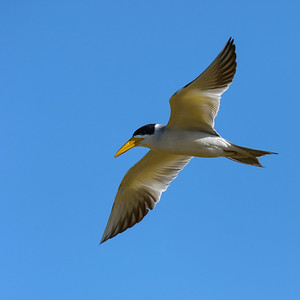 Large billed tern