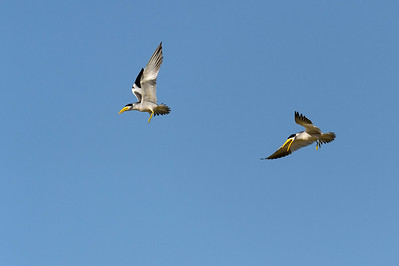 Large billed terns