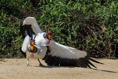 King vultures after mating