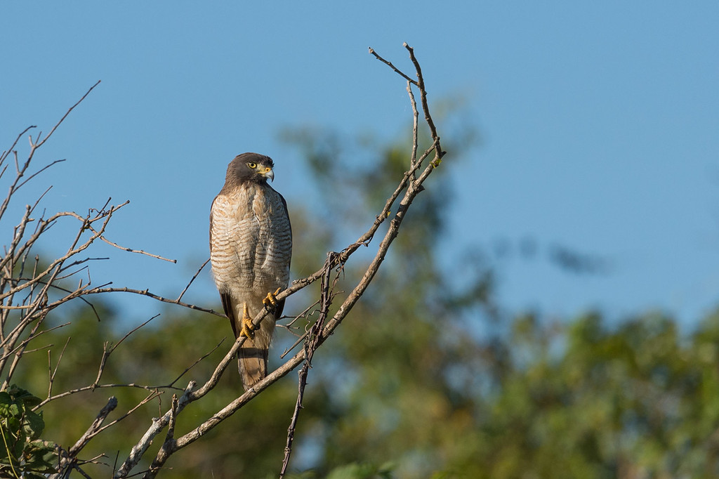 Roadside hawk
