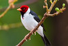 South America. Brazil. Yellow-billed cardinal (Paroaria capitata) is a tanager unrelated to cardinals proper and commonly found in the Pantanal, the world's largest tropical wetland area, and a UNESCO World Heritage Site.