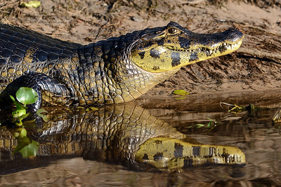 Paraguay caiman