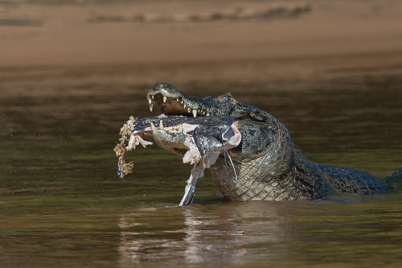 Caiman and catfish