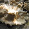 Lobe Coral <br /> (c) Kalei Nuuhiwa<br /> Kuaihelani