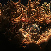 Bushy Staghorn Coral?<br /> (c) Pualani Kanahele