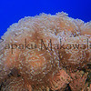 Anchor Coral<br /> (c) Pualani Kanahele