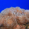 Anchor Coral<br /> (c) Pualani Kanahele