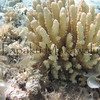 Finger Coral<br /> (c) Kalei Nuuhiwa<br /> Kuaihelani