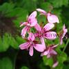 Geranium<br /> (c) Kalei Nuuhiwa