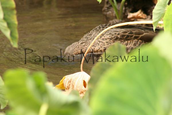 Koloa Haole<br /> (c) Kalei Nuuhiwa 2010