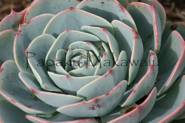 Cabbage Rose<br /> (c) Kalei Nuuhiwa
