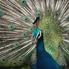 Peacock<br /> (c) Pualani Kanahele
