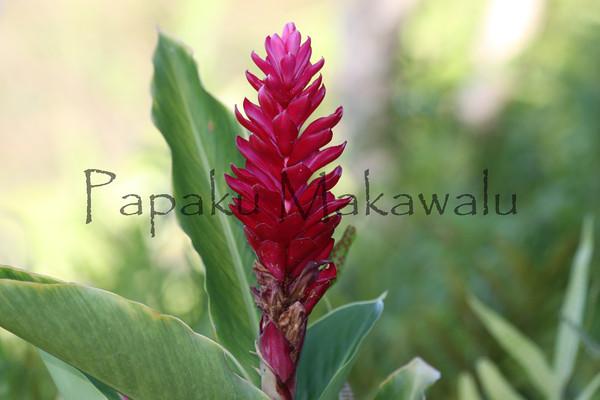 Awapuhi<br /> (c) Huihui Kanahele-Mossman