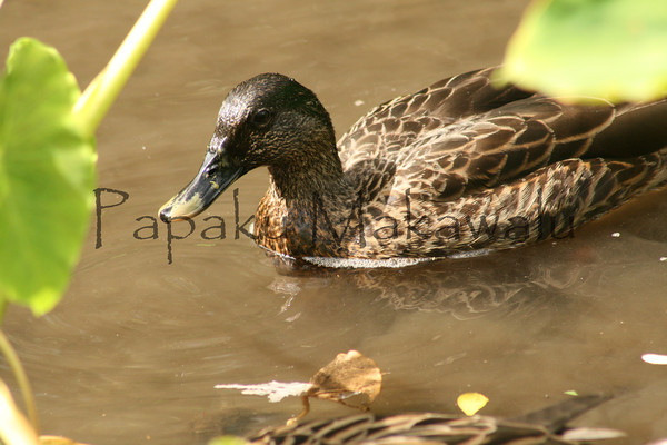 duck<br /> (c) Kalei Nuuhiwa 2010