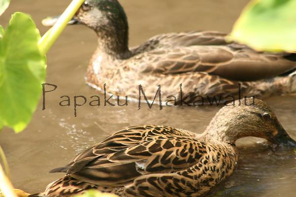ducks<br /> (c) Kalei Nuuhiwa 2010