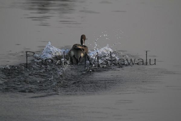 (c)Kalei Nuuhiwa 2012<br /> Duck
