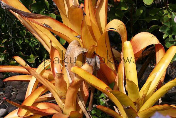 Bromelia<br /> (c) Kalei Nuuhiwa
