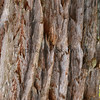 Eucalptus<br /> (c) Kalei Nuuhiwa