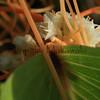 Kaunaoa<br /> (c) Kaukamaiwa Kealiikanakaoleohaililani