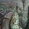 Kauila<br /> na Keahiloa Kanahele