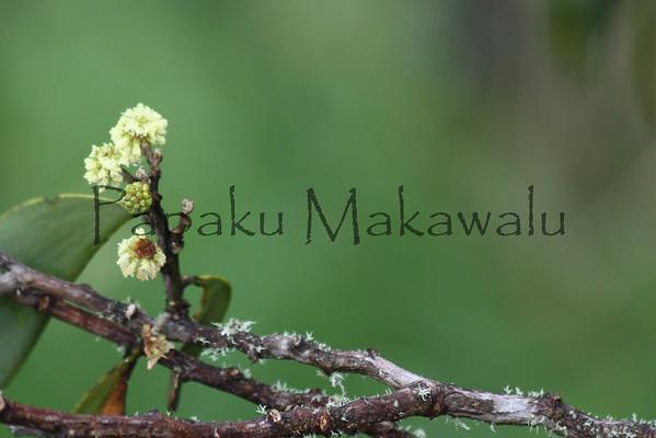 Koa_Pua.Puu Huluhulu<br /> (c) Kuulei Kanahele