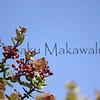 Lehua Ahihi.Mauna Loa<br /> (c) Kuulei Kanahele
