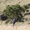 Mamane.Saddle<br /> (c) Pualani Kanahele