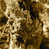 Ohia<br /> (c) Kalei Nuuhiwa 2012<br /> sepia ohia log in pele steam