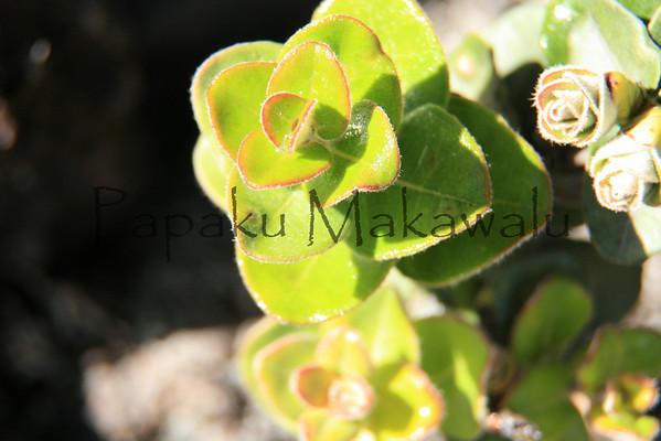 Ohia Lehua_Liko<br /> (c) Kalei Nuʻuhiwa